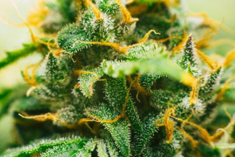 Industry Spotlight: Cannabis